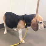 Operatie van een Beagle met een milttumor