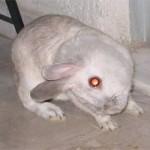 konijn-met-ecuniculi