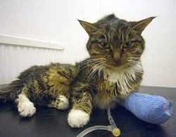 kat met nierproblemen voeding