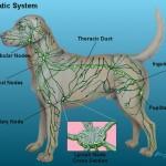Lymfeknopen bij de hond